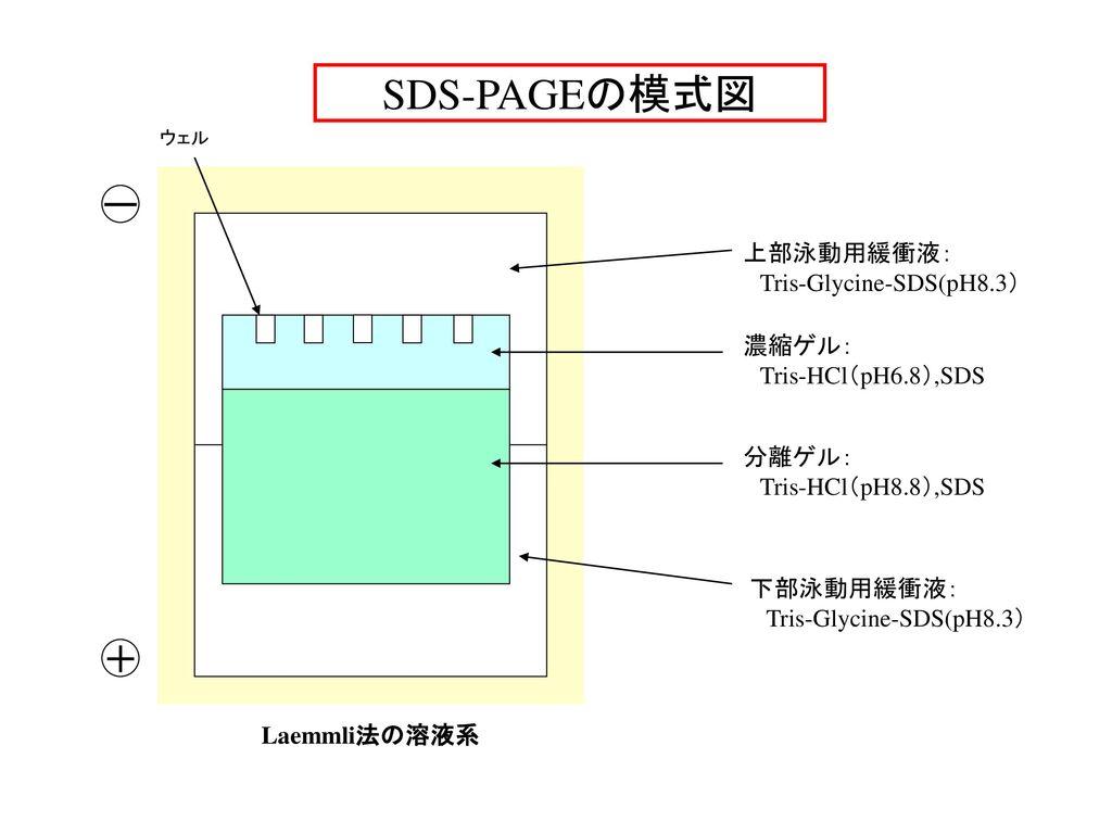 SDS-PAGEの模式図 ー + 上部泳動用緩衝液: Tris-Glycine-SDS(pH8.3) 濃縮ゲル: