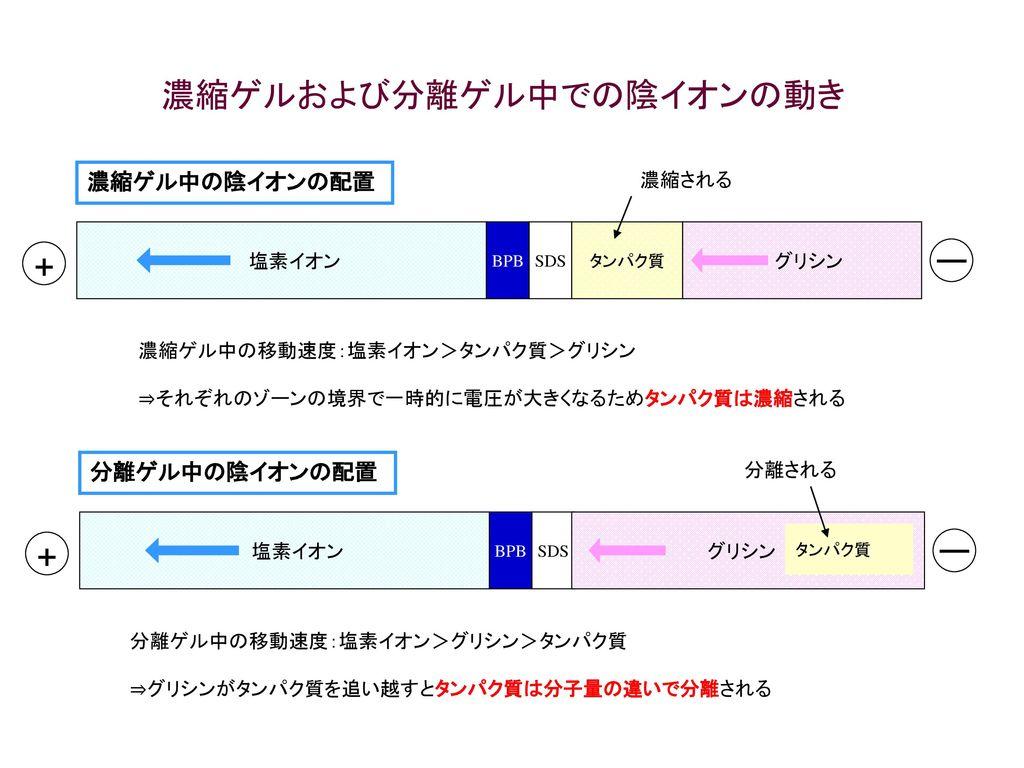 濃縮ゲルおよび分離ゲル中での陰イオンの動き
