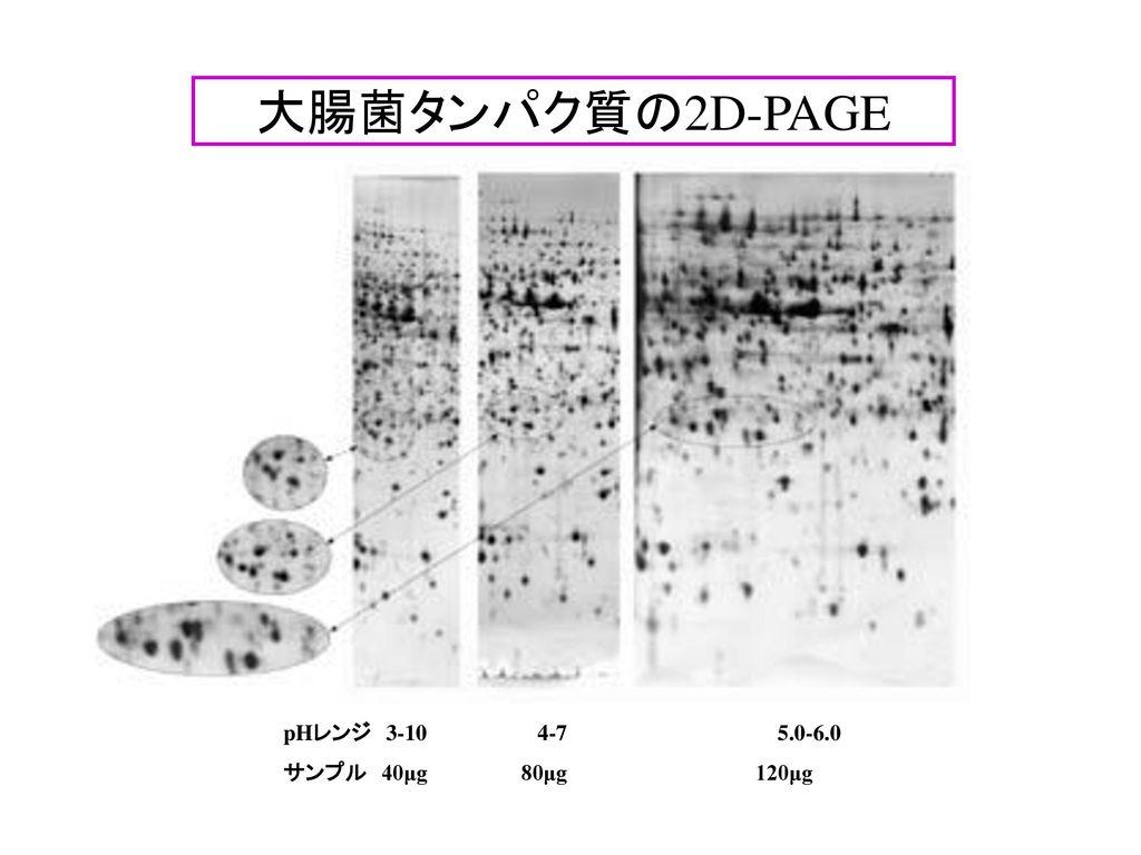 大腸菌タンパク質の2D-PAGE pHレンジ 3-10 4-7 5.0-6.0 サンプル 40μg 80μg 120μg