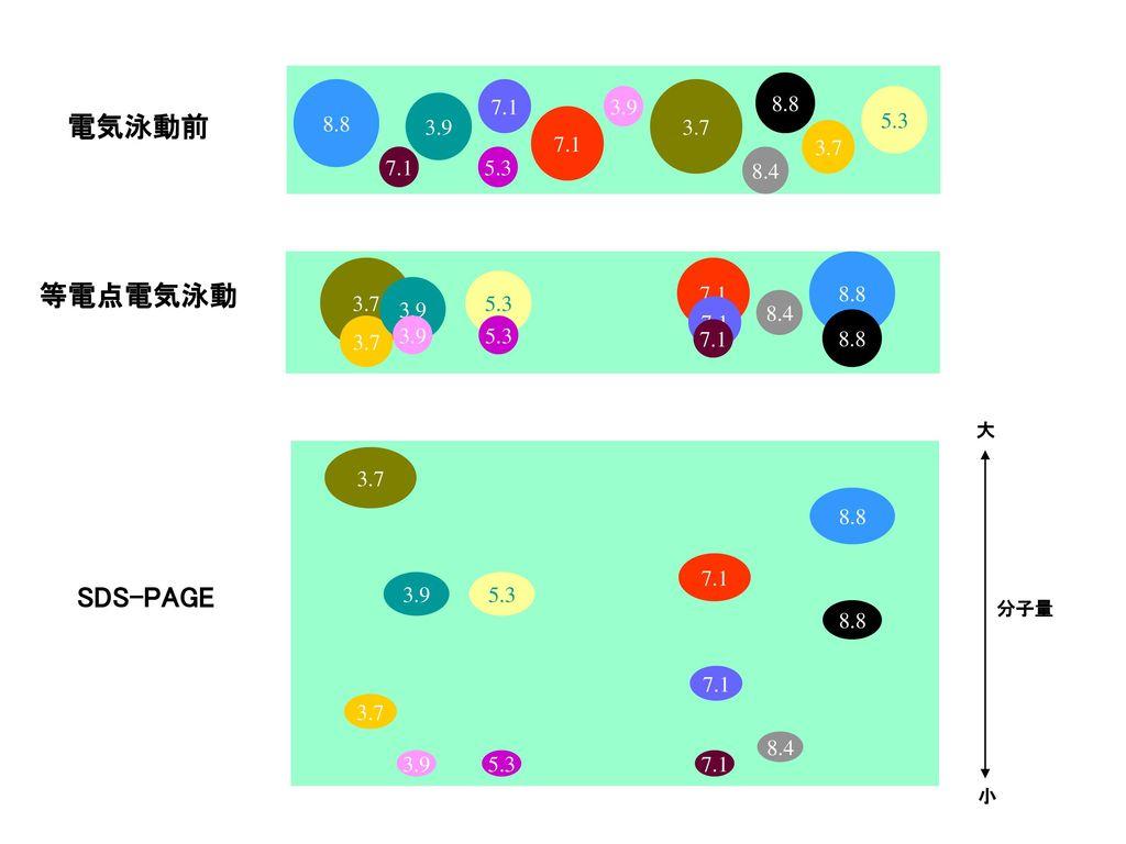 電気泳動前 等電点電気泳動 SDS-PAGE 8.8 8.8 7.1 3.9 3.7 3.9 5.3 7.1 3.7 7.1 5.3 8.4