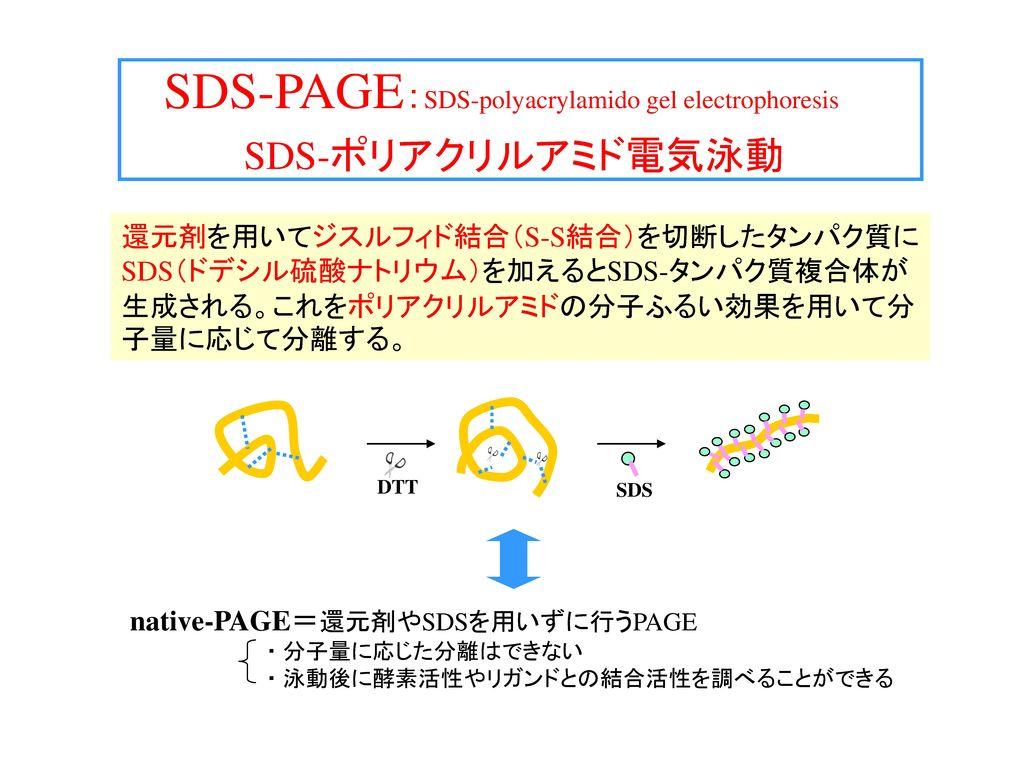 SDS-PAGE:SDS-polyacrylamido gel electrophoresis SDS-ポリアクリルアミド電気泳動