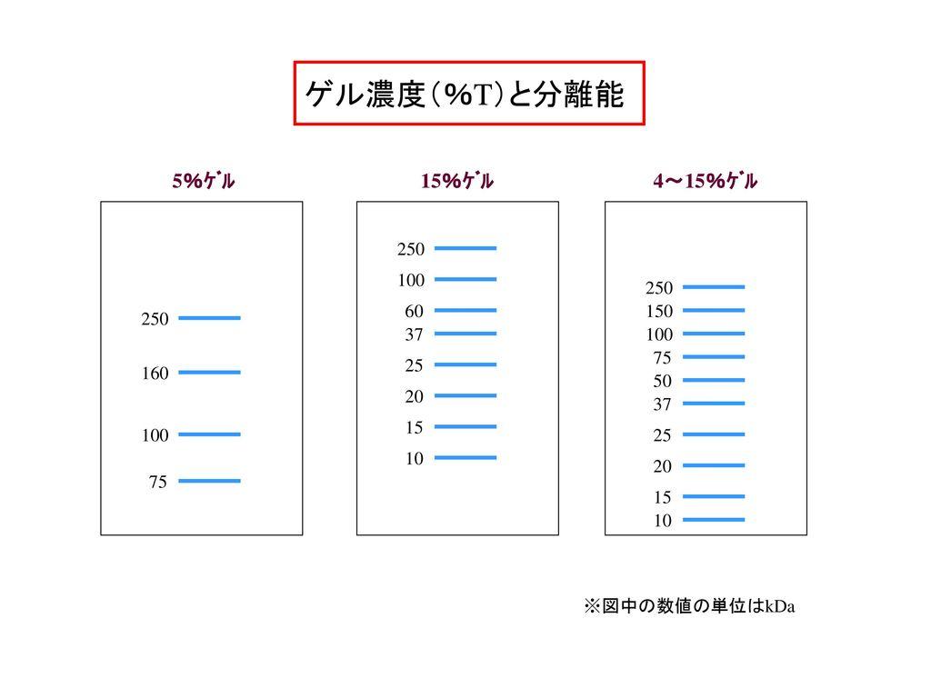 ゲル濃度(%T)と分離能 5%ゲル 15%ゲル 4~15%ゲル 250 60 100 37 25 20 10 15 250 150