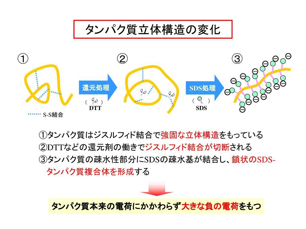 タンパク質立体構造の変化 1 2 3 ①タンパク質はジスルフィド結合で強固な立体構造をもっている