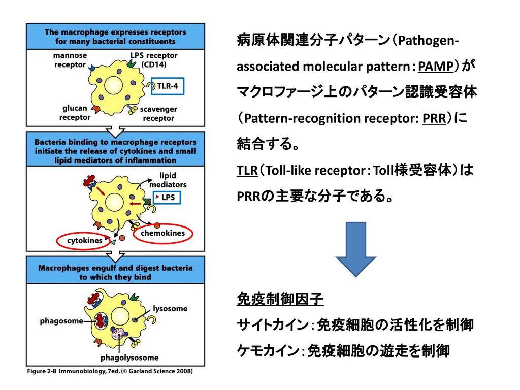 病原体関連分子パターン(Pathogen-associated molecular pattern:PAMP)がマクロファージ上のパターン認識受容体(Pattern-recognition receptor: PRR)に結合する。