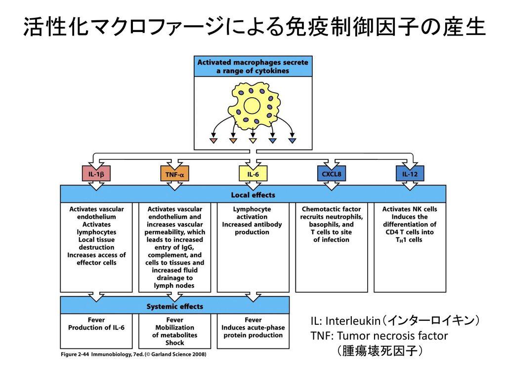 活性化マクロファージによる免疫制御因子の産生