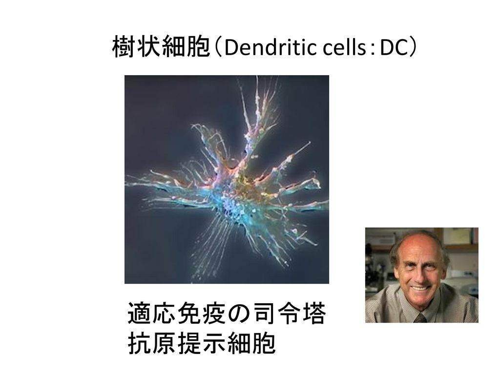 樹状細胞(Dendritic cells:DC)