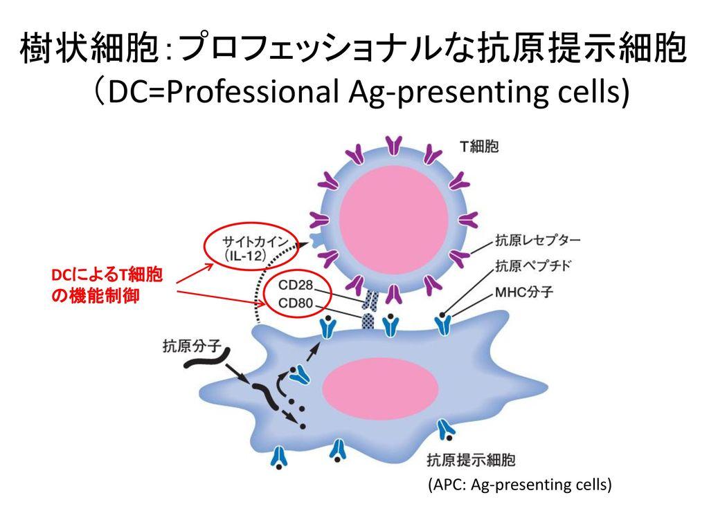 樹状細胞:プロフェッショナルな抗原提示細胞 (DC=Professional Ag-presenting cells)