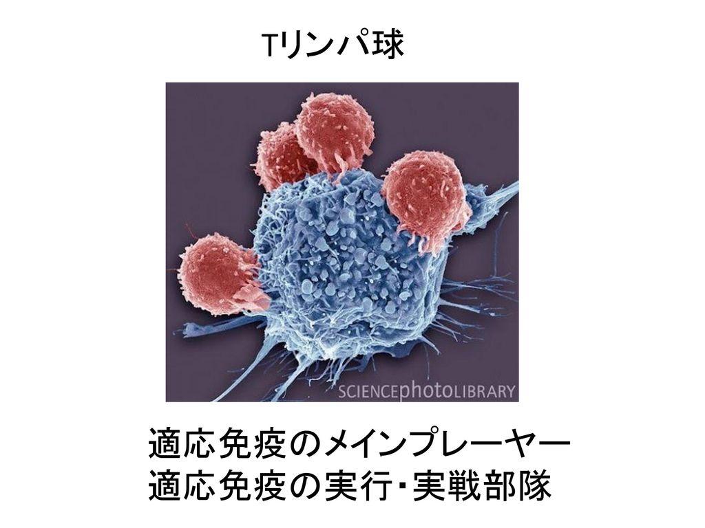 Tリンパ球 適応免疫のメインプレーヤー 適応免疫の実行・実戦部隊
