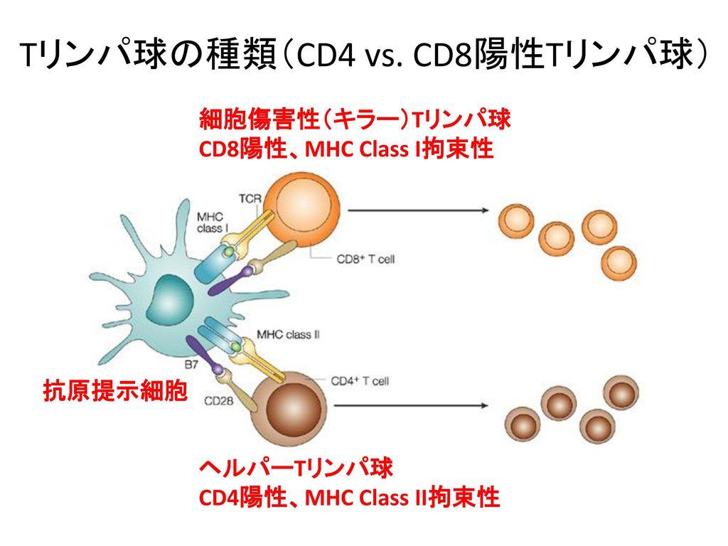Tリンパ球の種類(CD4 vs. CD8陽性Tリンパ球)