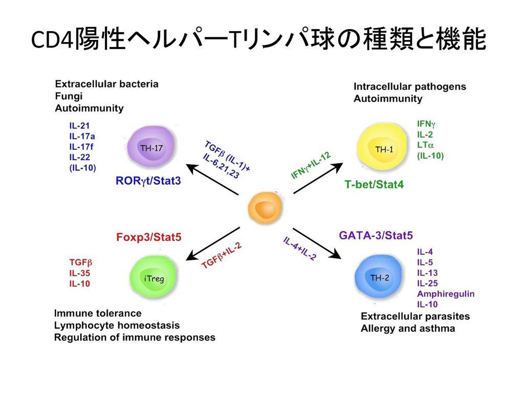 CD4陽性ヘルパーTリンパ球の種類と機能