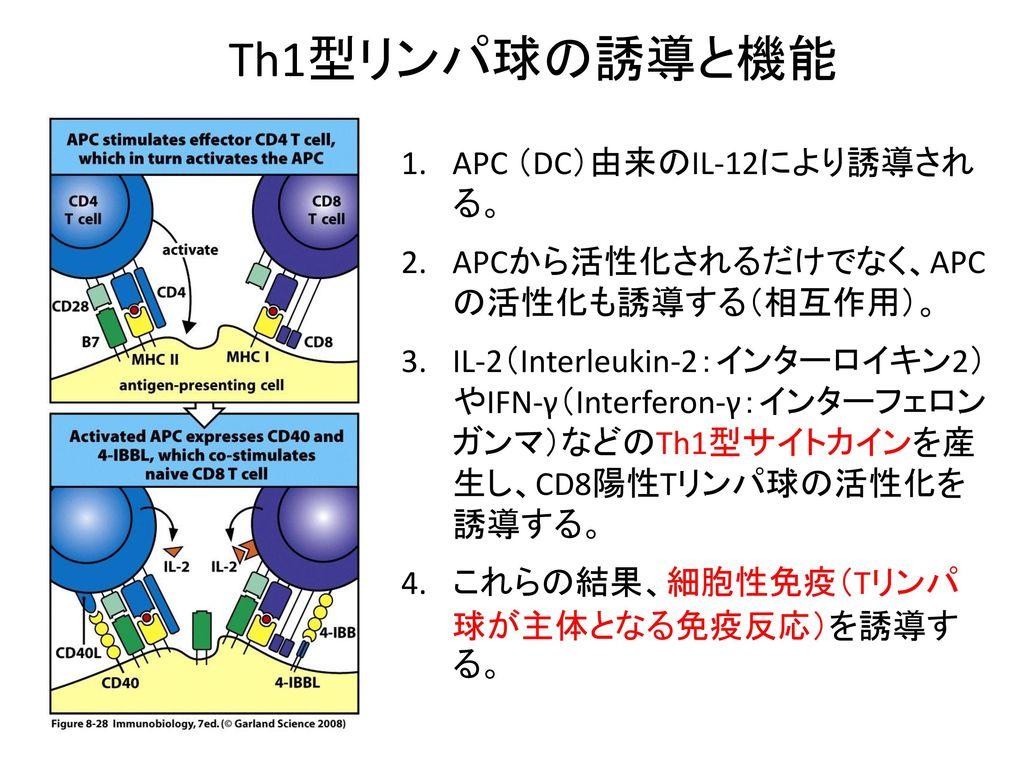 Th1型リンパ球の誘導と機能 APC (DC)由来のIL-12により誘導され る。