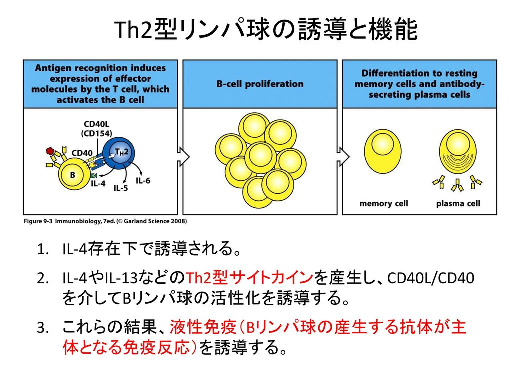 Th2型リンパ球の誘導と機能 IL-4存在下で誘導される。