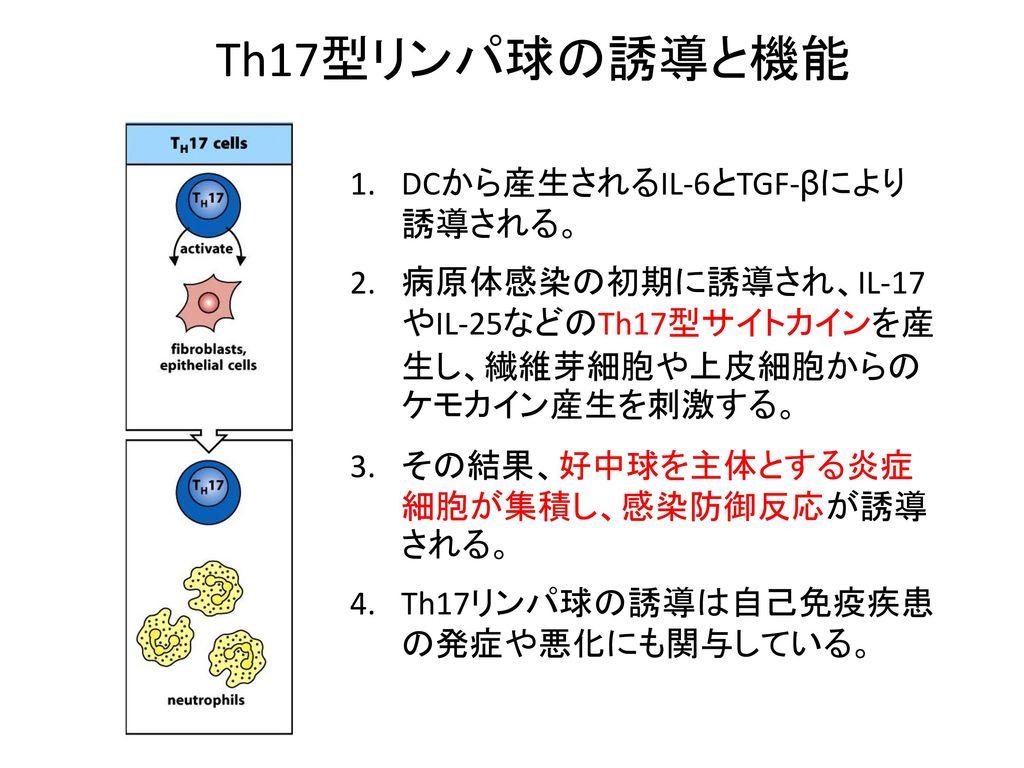 Th17型リンパ球の誘導と機能 DCから産生されるIL-6とTGF-βにより 誘導される。