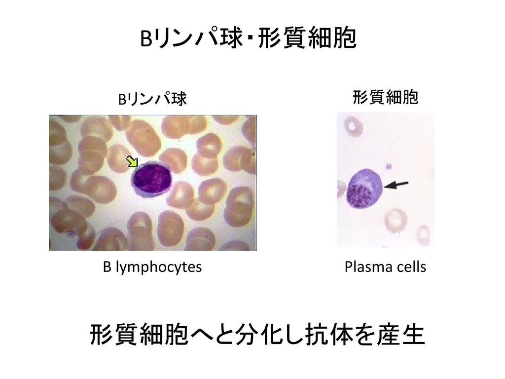 Bリンパ球・形質細胞 Bリンパ球 形質細胞 B lymphocytes Plasma cells 形質細胞へと分化し抗体を産生