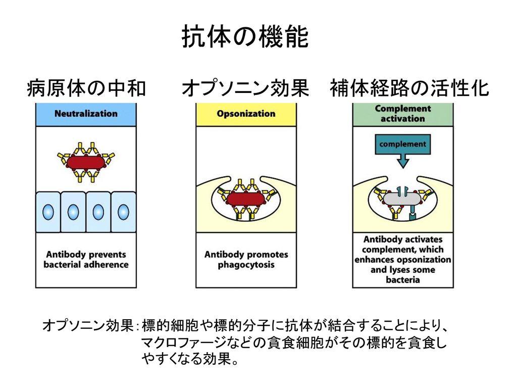 抗体の機能 病原体の中和 オプソニン効果 補体経路の活性化