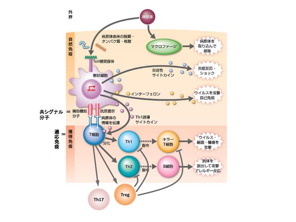 共シグナル分子 = 適応免疫 = Treg Th17