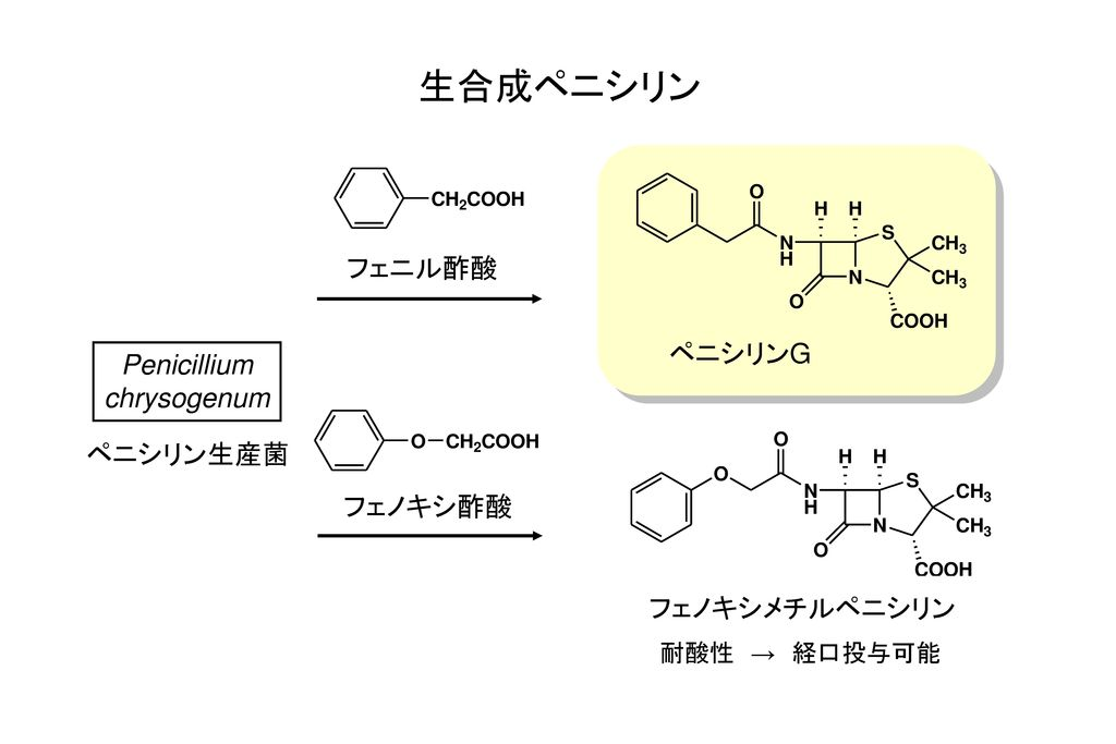 生合成ペニシリン フェニル酢酸 ペニシリンG Penicillium chrysogenum ペニシリン生産菌 フェノキシ酢酸