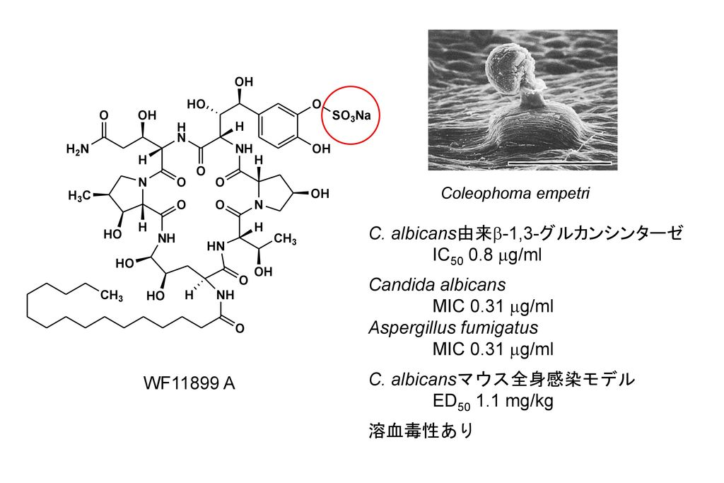 C. albicans由来b-1,3-グルカンシンターゼ IC mg/ml Candida albicans
