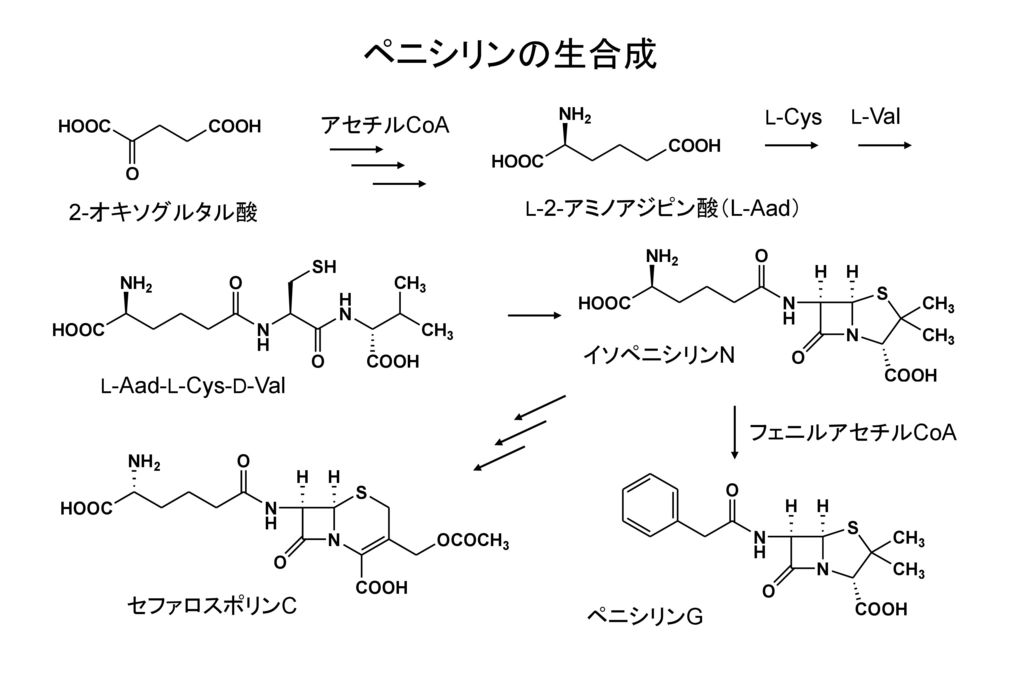 ペニシリンの生合成 アセチルCoA 2-オキソグルタル酸 イソペニシリンN フェニルアセチルCoA セファロスポリンC ペニシリンG