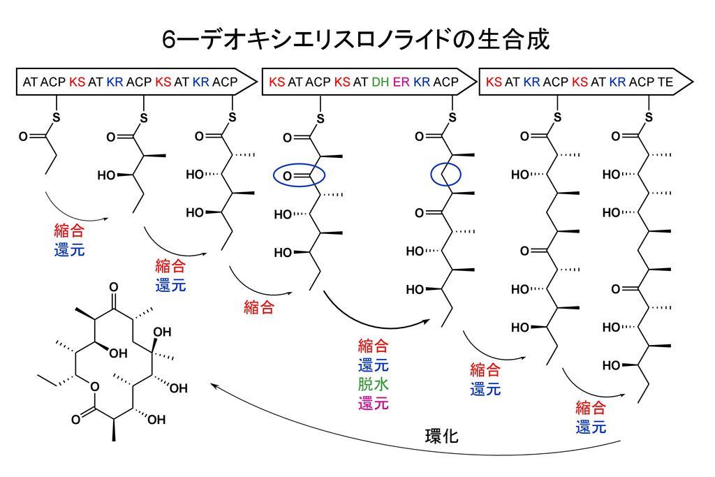 6ーデオキシエリスロノライドの生合成 環化 縮合 還元 縮合 還元 縮合 縮合 還元 脱水 縮合 還元 縮合 還元