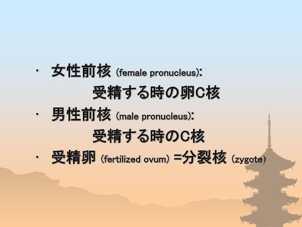 女性前核 (female pronucleus):