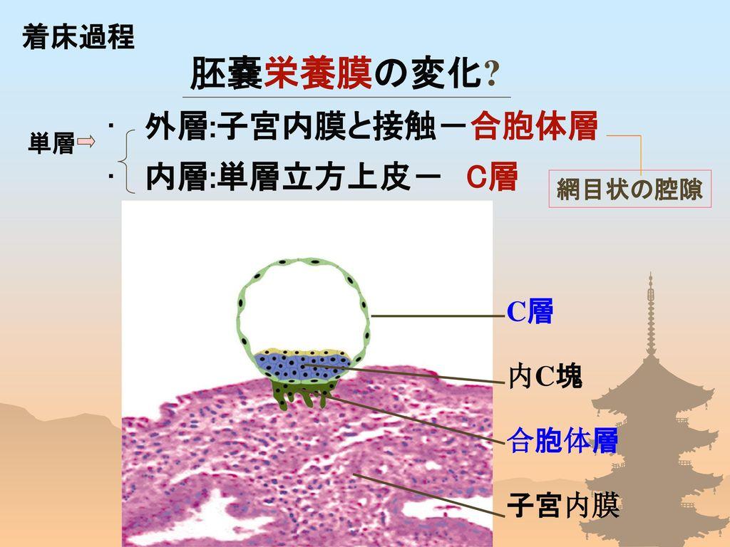 胚嚢栄養膜の変化 外層:子宮内膜と接触-合胞体層 内層:単層立方上皮- C層 着床過程 C層 内C塊 合胞体層 子宮内膜 単層