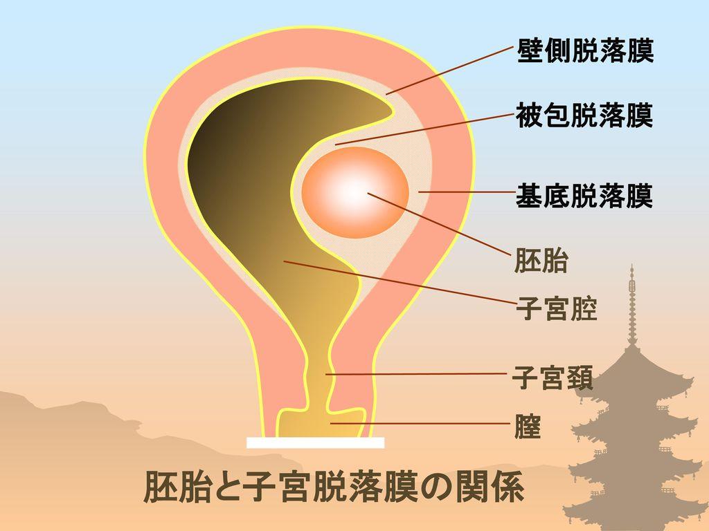 壁側脱落膜 被包脱落膜 基底脱落膜 胚胎 子宮腔 子宮頚 膣 胚胎と子宮脱落膜の関係