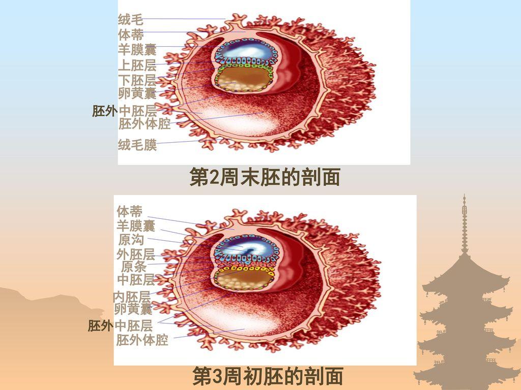 第2周末胚的剖面 第3周初胚的剖面 绒毛 体蒂 羊膜囊 上胚层 下胚层 卵黄囊 胚外中胚层 胚外体腔 绒毛膜 体蒂 羊膜囊 原沟 外胚层
