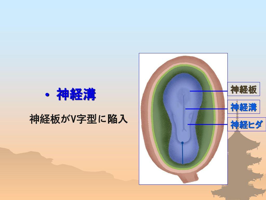 神経ヒダ 神経板 神経溝 神経溝 神経板がV字型に陥入