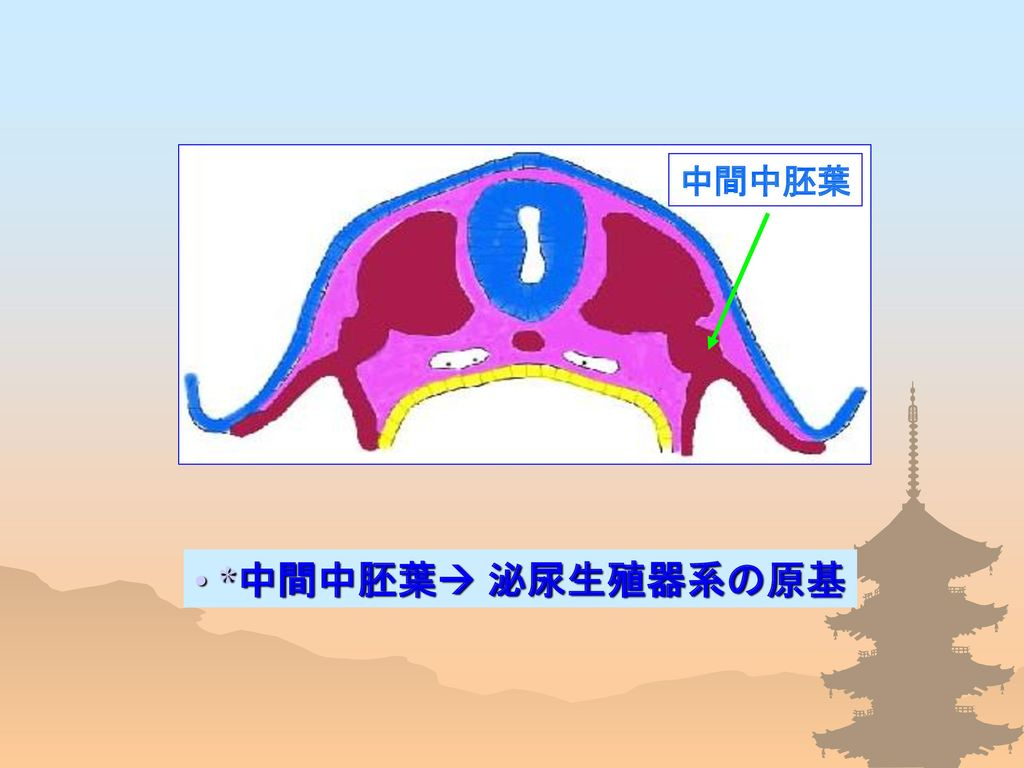 中間中胚葉 *中間中胚葉 泌尿生殖器系の原基