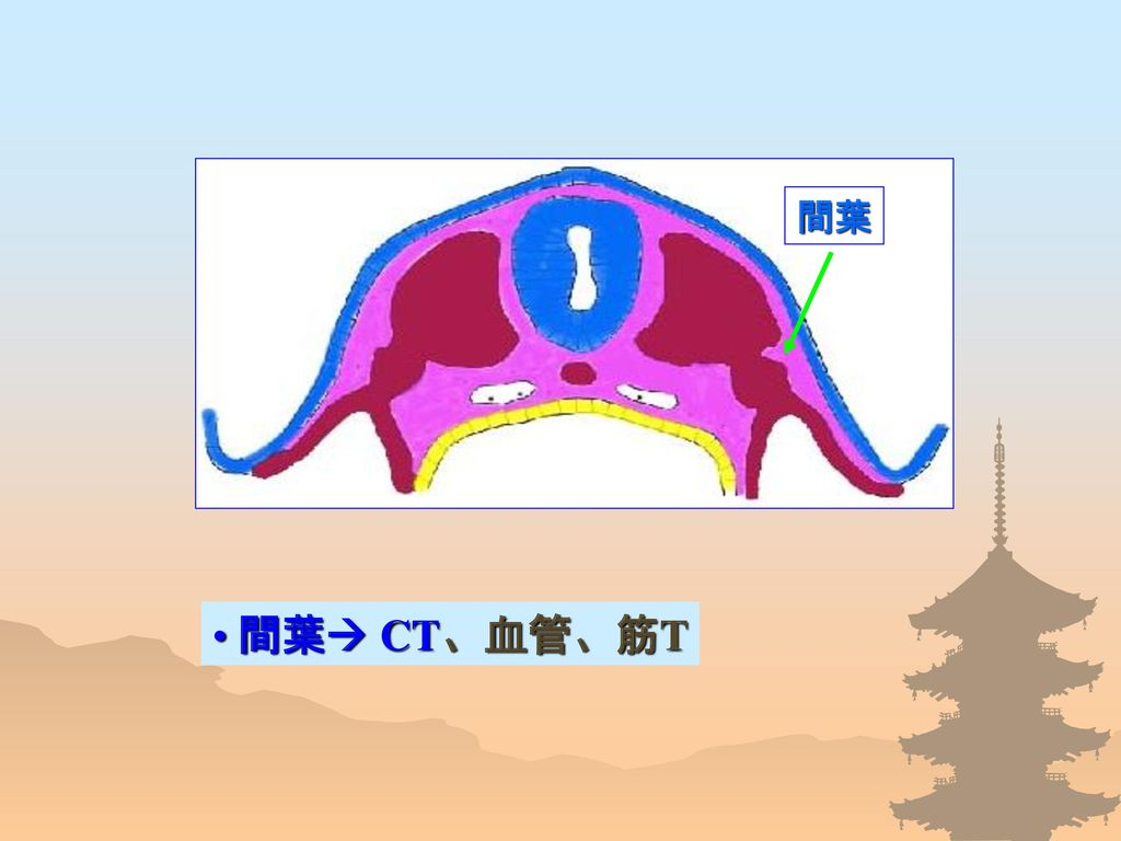 間葉 間葉 CT、血管、筋T