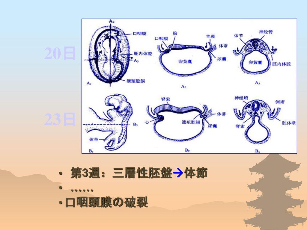 20日 23日 第3週:三層性胚盤体節 …… 口咽頭膜の破裂