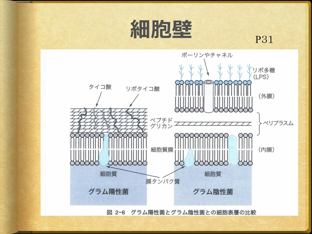 細胞壁 P31