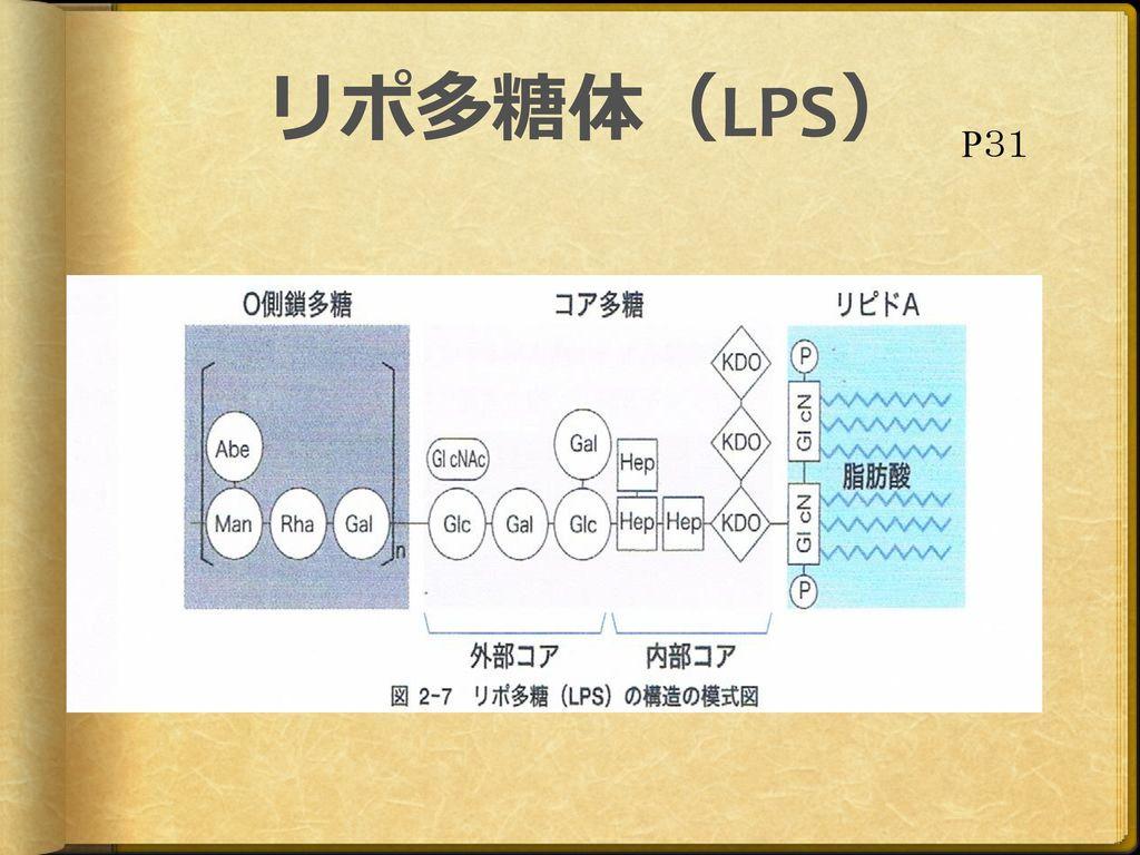 リポ多糖体(LPS) P31