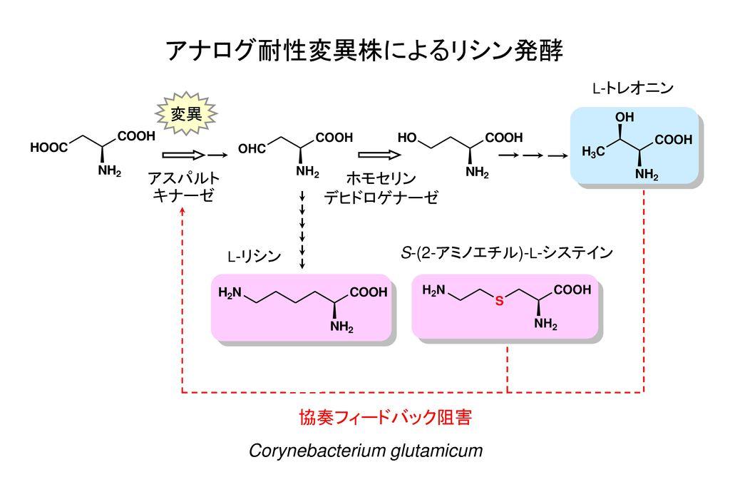 アナログ耐性変異株によるリシン発酵 協奏フィードバック阻害 Corynebacterium glutamicum 変異 アスパルト