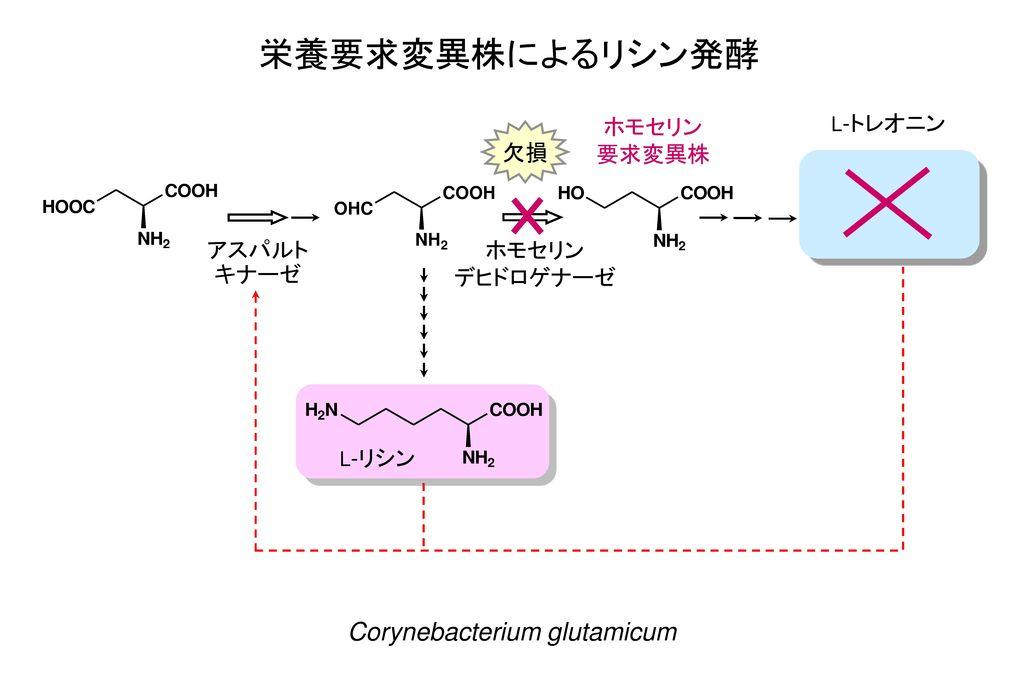栄養要求変異株によるリシン発酵 協奏フィードバック阻害 Corynebacterium glutamicum ホモセリン 要求変異株 欠損