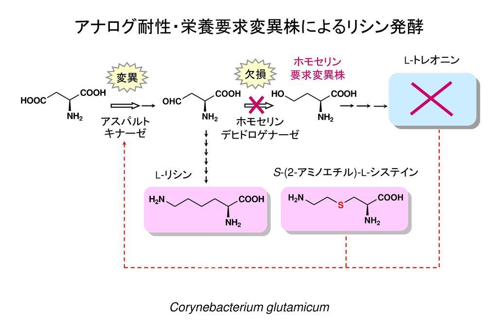 アナログ耐性・栄養要求変異株によるリシン発酵