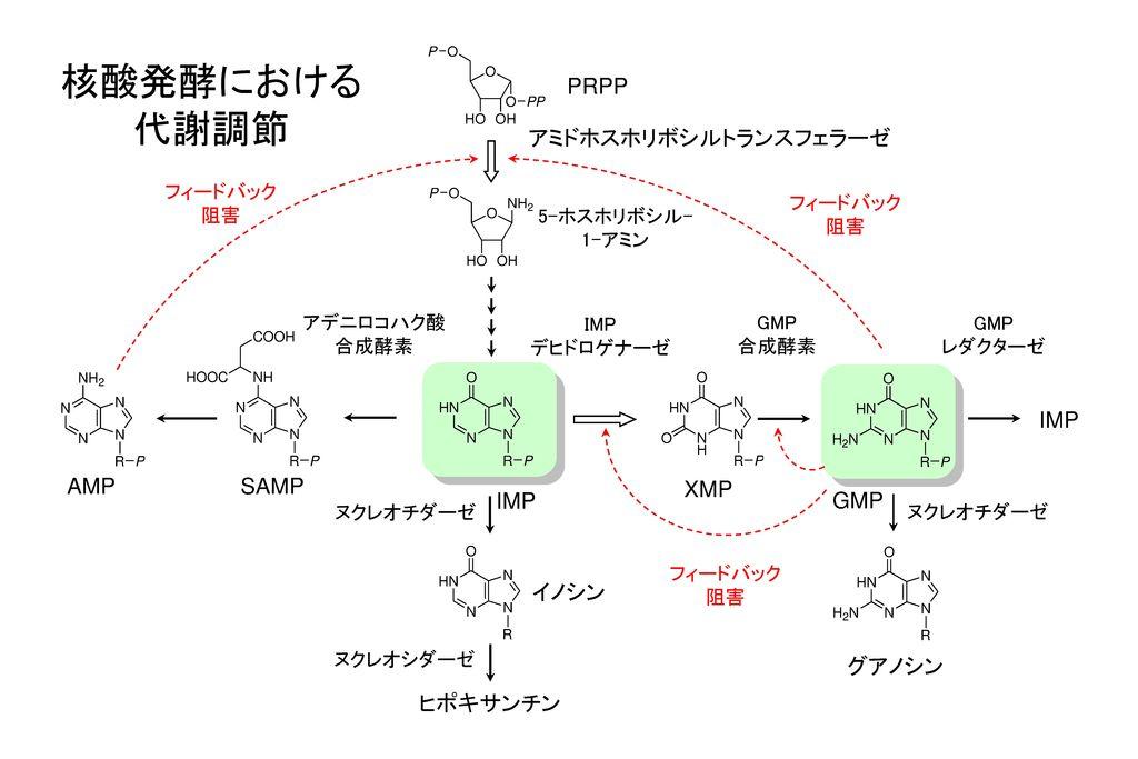 核酸発酵における 代謝調節 PRPP アミドホスホリボシルトランスフェラーゼ IMP AMP SAMP XMP IMP GMP イノシン