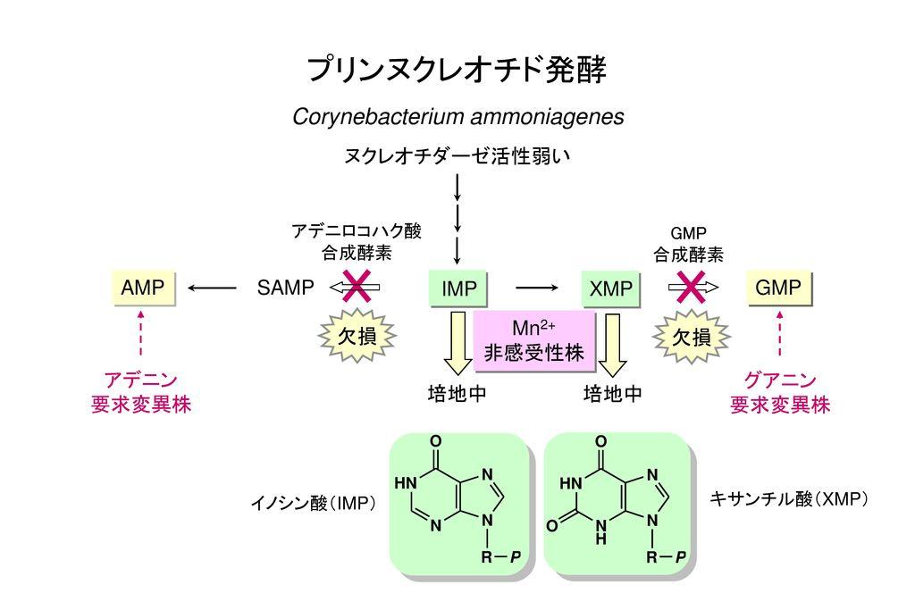 プリンヌクレオチド発酵 Corynebacterium ammoniagenes ヌクレオチダーゼ活性弱い AMP SAMP 欠損 IMP