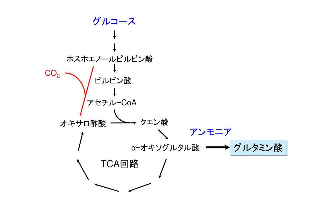 グルコース アンモニア グルタミン酸 TCA回路 ホスホエノールピルビン酸 CO2 ピルビン酸 アセチル−CoA クエン酸 オキサロ酢酸