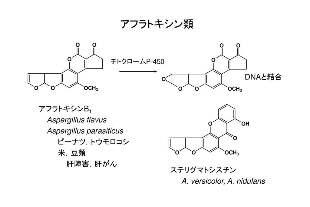 アフラトキシン類 DNAと結合 アフラトキシンB1 Aspergillus flavus Aspergillus parasiticus