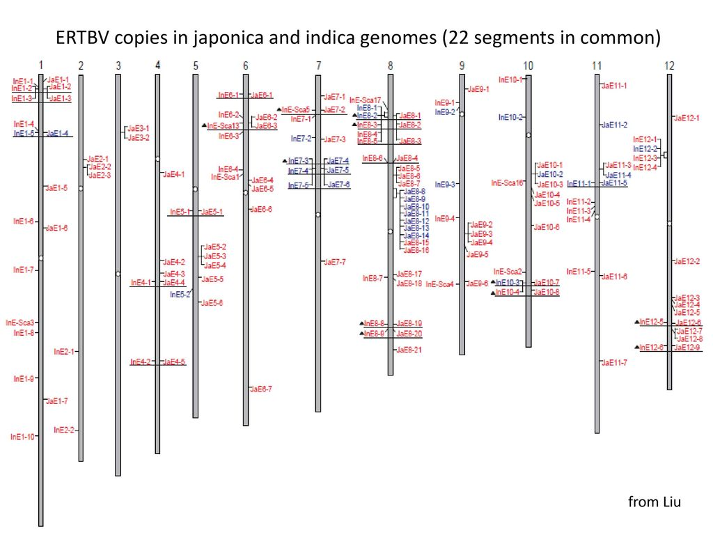 ERTBV copies in japonica and indica genomes (22 segments in common)