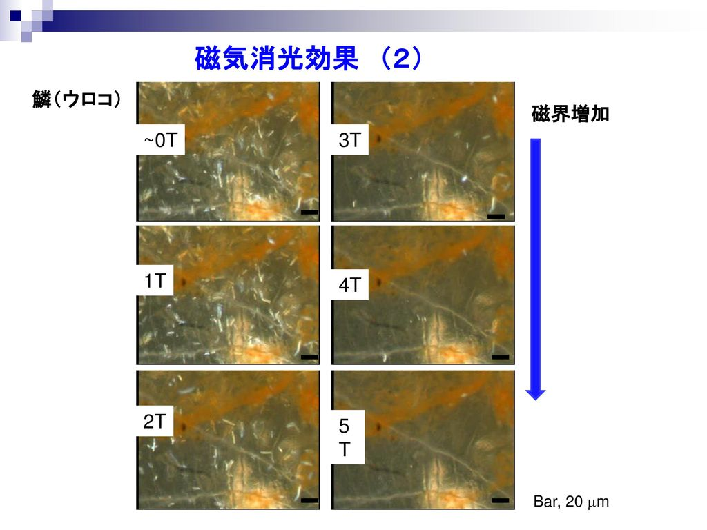 磁気消光効果 (2) 鱗(ウロコ) ~0T 1T 2T 3T 4T 5T 磁界増加 Bar, 20 mm 14