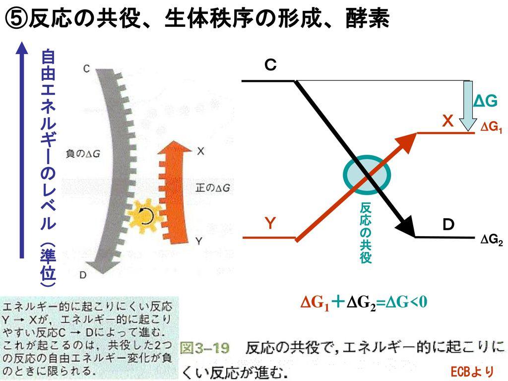 ⑤反応の共役、生体秩序の形成、酵素 自由エネルギーのレベル(準位) C ΔG X Y D DG1+DG2=DG<0 DG1 反応の共役