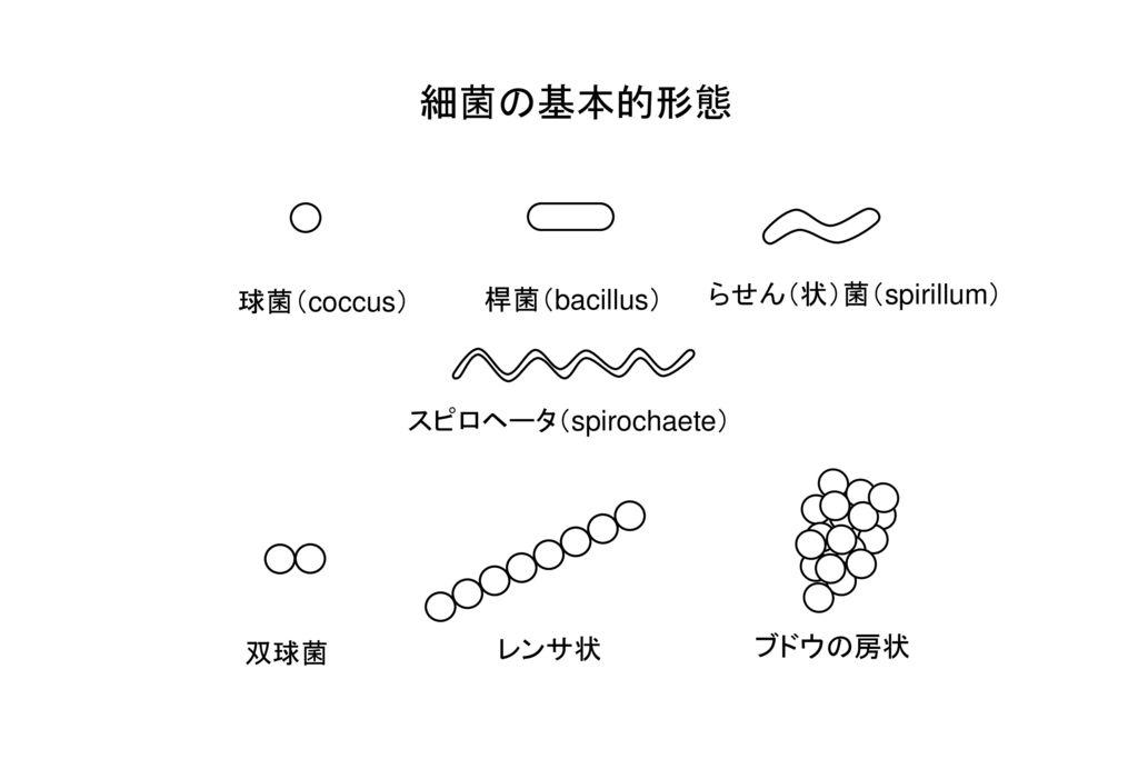 細菌の基本的形態 らせん(状)菌(spirillum) 球菌(coccus) 桿菌(bacillus)