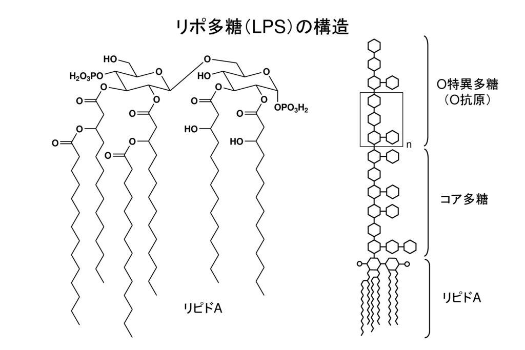 リポ多糖(LPS)の構造 O特異多糖 (O抗原) n コア多糖 リピドA リピドA