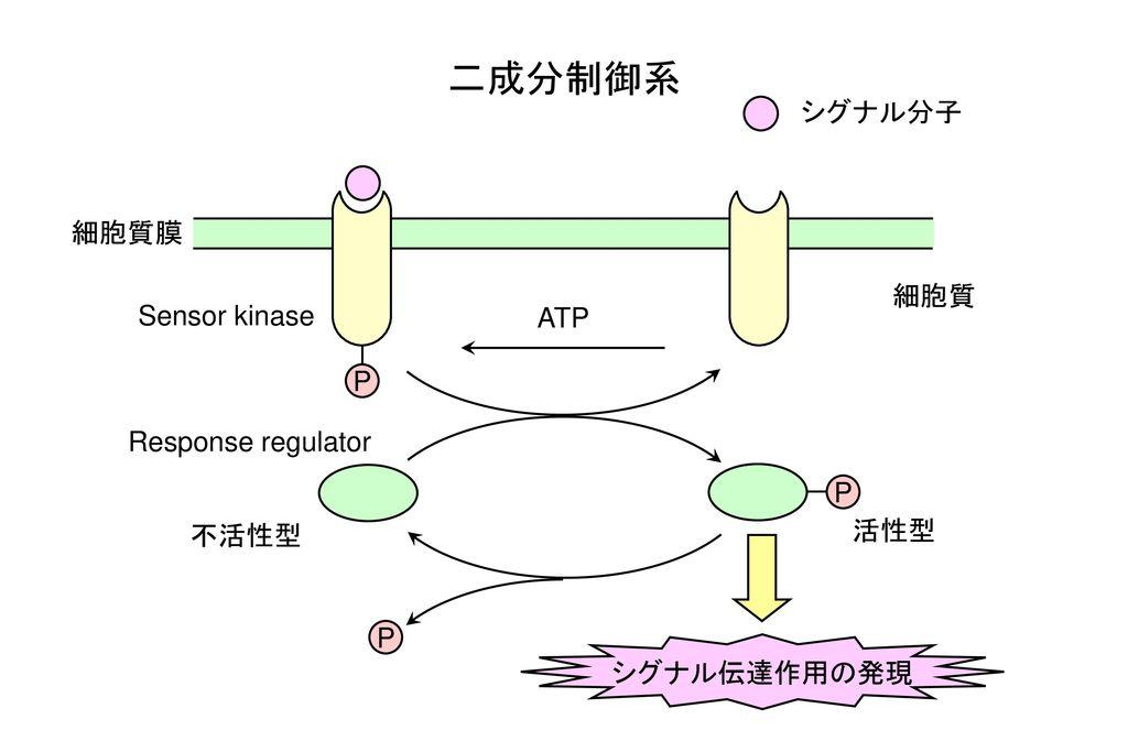 二成分制御系 シグナル分子 細胞質膜 細胞質 Sensor kinase ATP P Response regulator P 活性型