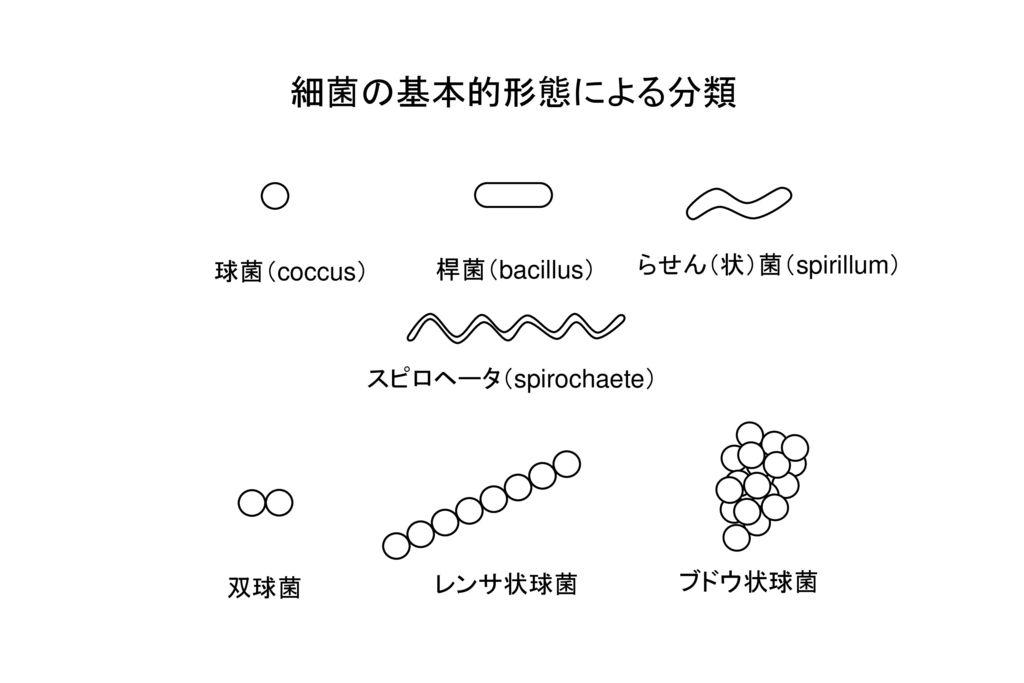 細菌の基本的形態による分類 らせん(状)菌(spirillum) 球菌(coccus) 桿菌(bacillus)