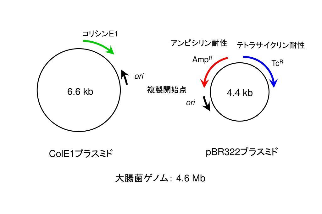 6.6 kb 4.4 kb pBR322プラスミド ColE1プラスミド 大腸菌ゲノム: 4.6 Mb コリシンE1 アンピシリン耐性