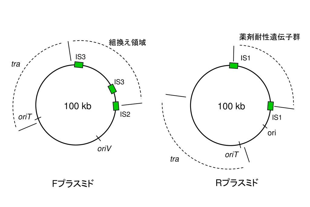 100 kb 100 kb Fプラスミド Rプラスミド 薬剤耐性遺伝子群 組換え領域 tra oriT ori oriV oriT tra